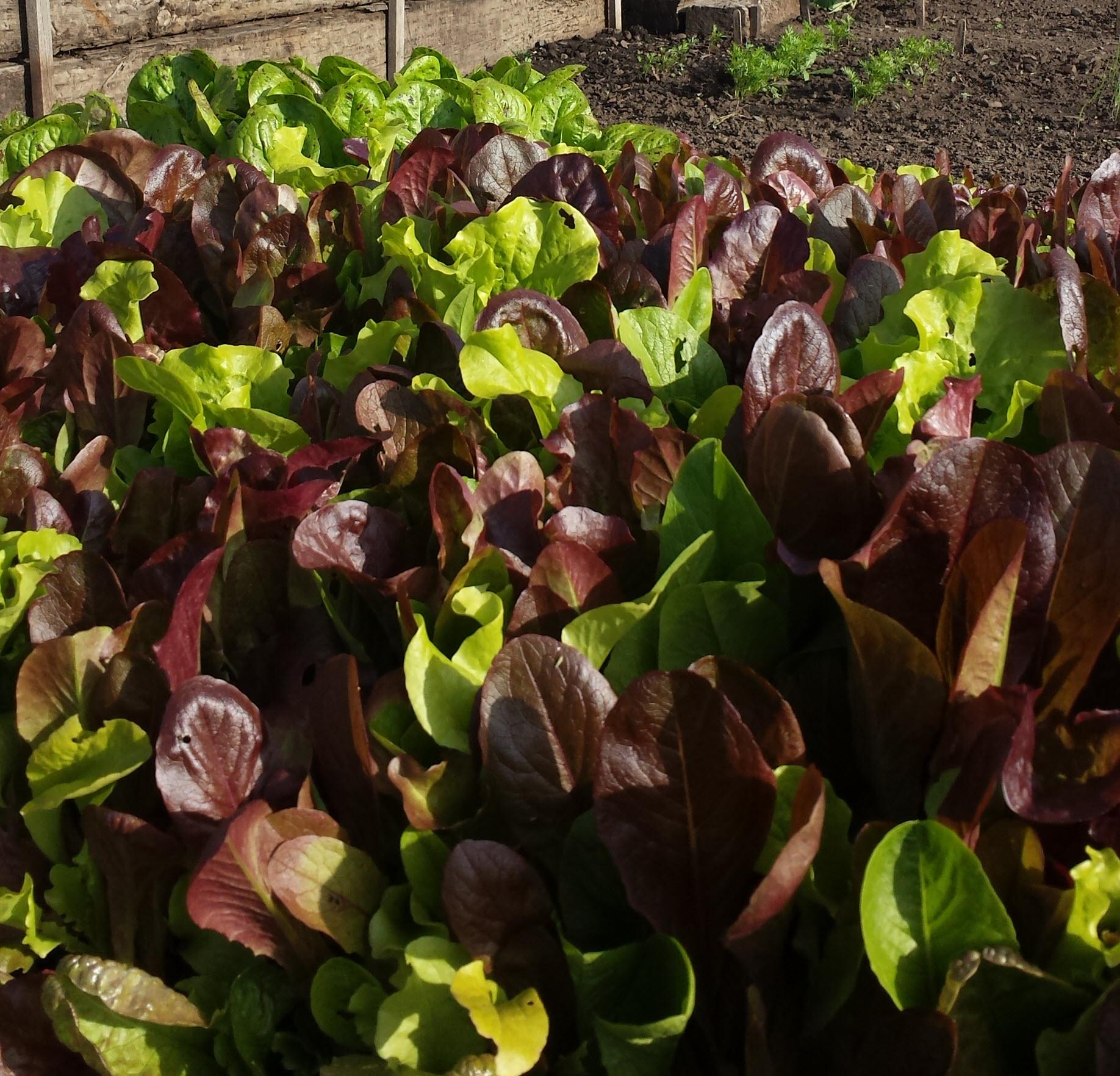salad blend lettuces